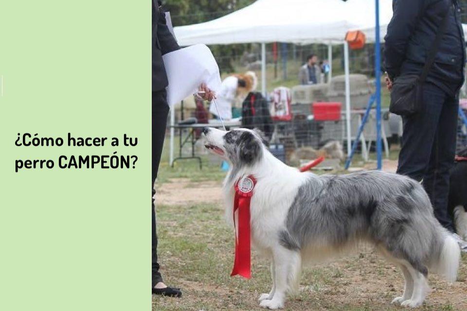 ¿Cómo hacer a tu perro CAMPEÓN?