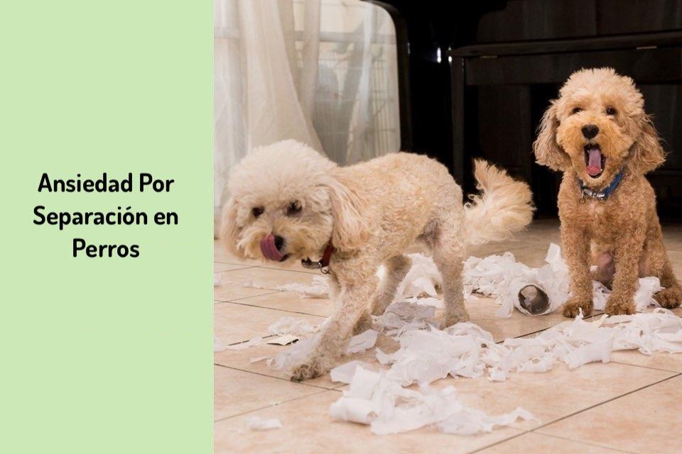 Ansiedad por Separación en Perros, Diagnostico y Prevención